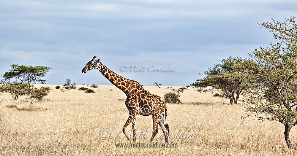 Lone giraffe, giraffa camelopardalis, walking in profile across the plains, Kenya, Africa (photo by Wildlife Photographer Matt Considine)