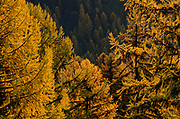 Western larch at sunrise in fall. Kootenai National Forest in the Purcell Mountains, northwest Montana.