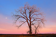 Cottonwood (Populus deltoides) trees at sunrise<br />