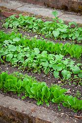 Lines of salad leaf seedlings in the vegetable garden. Beetroot 'Solist', Carrot Amsterdam Forcing Sprint, Lettuce 'Little Gem', Spring Onion 'Long White Ishikura' and Radish 'Cherry Belle'