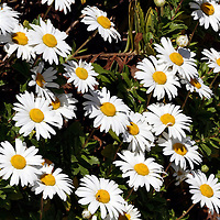 a bed of yellow and white Daisy flowers, Bellis perennis. Lavalette, New Jersey, USA, North America.