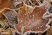 Frost, Ice, Leaves, Maple leaf, Fall, autumn