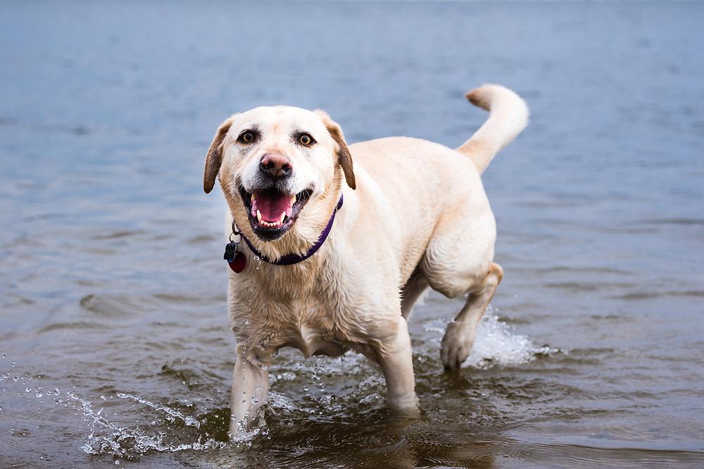 A lab mix dog enjoys the lake.