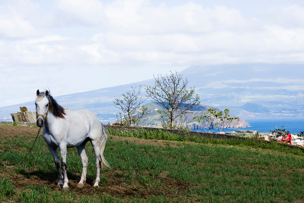 A horse tied up in afield on the island of Faial. The Azores are a group of nine islands under Portuguese sovereignty. They mark the most westerly point of the E.U. and earn most of their income from agriculture and tourism.