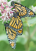 Monarch butterfly (Danaus plexippus) on Showy Milkweed (Asclepias speciosa)  in Salmon, Idaho.