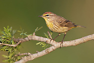 Palm Warbler - Setophaga palmarum - breeding male