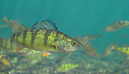 Yellow Perch, Underwater