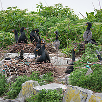 Nesting double-crested cormorants (Phalacrocorax auritus) on an island in the Bay of Fundy, Canada.