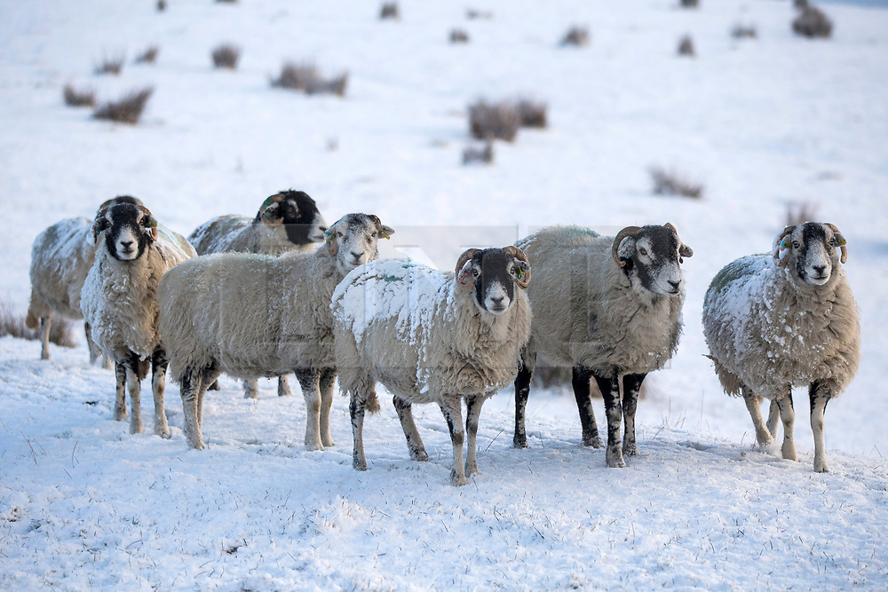 © Licensed to London News Pictures. 22/01/2019. Gearstones  UK. Snow covered sheep in a field near Gearstones after a night of snow fall in the Yorkshire Dales. Photo credit: Andrew McCaren/LNP