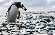 Gentoo penguin (Pygoscelis papua) picking up a rock for building the nest at Mikkelsen Harbor, Trinity Island, Antarctica