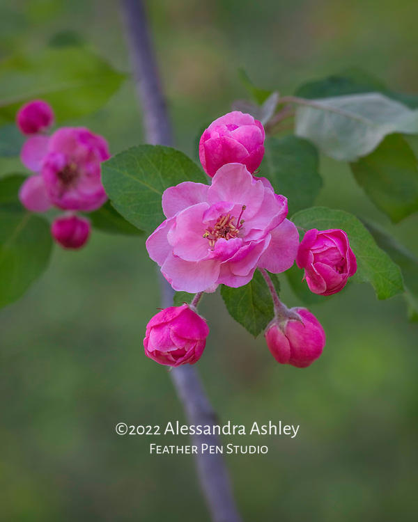Double blooms on pink crabapple in early May.
