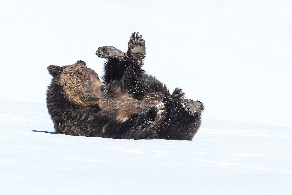 An adult grizzly sow enjoys a play session in the spring snow. Bears spend much more of their time playing than most any other mammal species, especially when food sources are readily available.