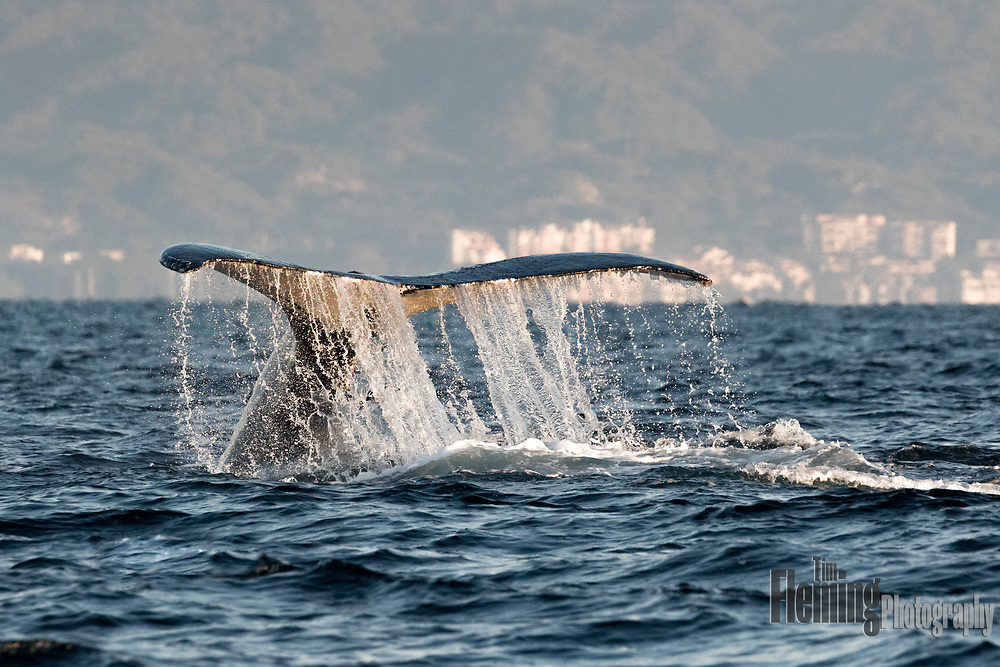 December and January are peak months for whale watching in the Bay of Banderas, Jalisco, Mexico. Here, a Humpback whale dives beneath the surface.