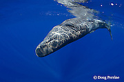 baby sperm whale calf, Physeter macrocephalus ( Endangered Species ), rolls upside-down; several remoras ( suckerfish ) are attached to whale, Kona, Hawaii, USA ( Central Pacific Ocean )