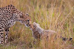A female cheetah ( Acinonyx jubatus ) greets her cub after returning from a hunt, Masai Mara, Kenya