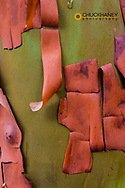 Bark peels from arbutus tree in Ganges, British Columbia, Canada