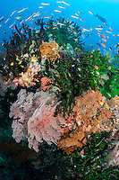 Fusiliers and other reef fish crowd around vivid hard and soft corals<br /> <br /> Shot in Indonesia