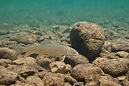 Black Redhorse Sucker<br />