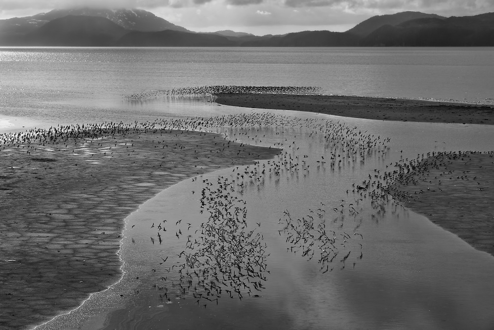 Flocks of Western Sandpipers (Calidris mauri) swarm the tidal flats of Hartney Bay near Cordova in Southcentral Alaska  during high tide to feed during their spring migration to the Arctic. Evening.