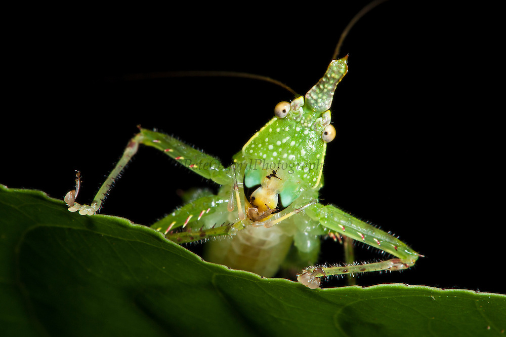 Spine-headed Katydid Nymph (Copiphora gracillis?)<br /> Yasuni National Park, Amazon Rainforest<br /> ECUADOR. South AmericaSpine-headed Katydid (Acantheremus sp) New to Science<br /> Yasuni National Park, Amazon Rainforest<br /> ECUADOR. South America