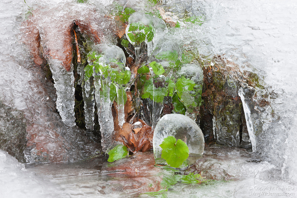 Small leaves are completely encased in ice during a spell of subfreezing temperatures in the Columbia River Gorge, Oregon. Dozens of waterfalls in the area occasionally freeze during the winter months.