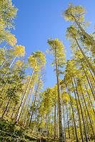 Autumn aspens [Populus tremuloides]; Kebler Pass, Gunnison National Forest, Colorado