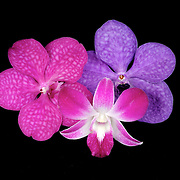 Three orchid flowers from Thailand