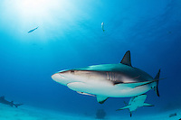 Caribbean Reef Shark and sunburst<br /> <br /> Shot in Bahamas