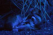 Deutschland, DEU, Cuxhaven: Nächtlicher Kampf zwischen zwei männlichen Goldhamstern (Mesocricetus auratus). Einer drang in das Territorium des anderen ein. Goldhamster sind Nachttiere und Einzelgänger. Sie dulden keine anderen Männchen in ihrem Revier. Wenn das schwächere Tier nicht mehr fliehen kann, enden Kämpfe oft tödlich. Es existiert keine Form von Kampfritual, kommt es zu einem, geht es um Leben oder Tod. | Germany, DEU, Cuxhaven: Golden Hamster (Mesocricetus auratus), fight between two males at night, one invaded the territory of the other, Golden Hamsters are nocturnal animals, they are loner and territorial, they don't tolerate another male in their territory, if the weaker animal can't flee it often end deadly, there exists no ritual, these confrontations are fights for their life. |