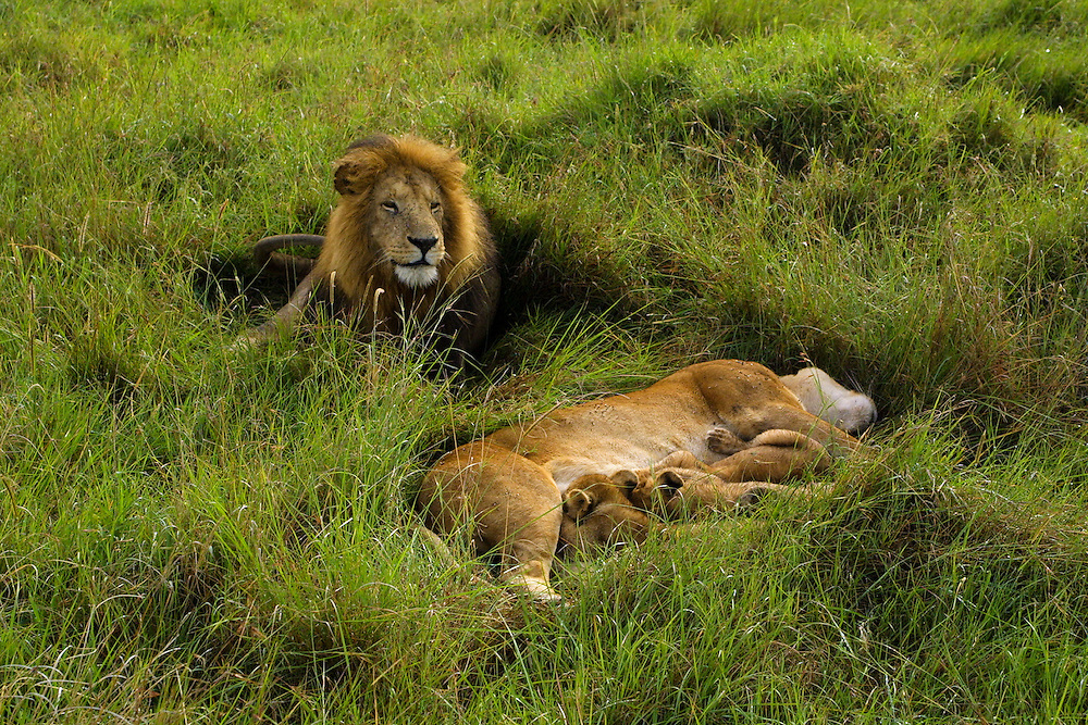 Male Lion with lioness nursing three cubs in the Masa Mara National Park, Kenya