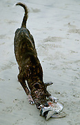 "Jimbaran Beach. One of Bali's dreadful, ever-present dogs (""Cicing"")devouring a stinky fish head."