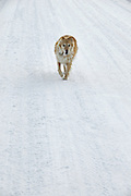USA, Idaho, Valley County, Donnelly, Tamarack Resort, Dog on a snow packed road