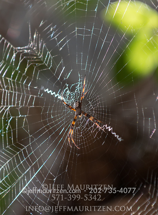 St Andrews Cross Spider in its web.