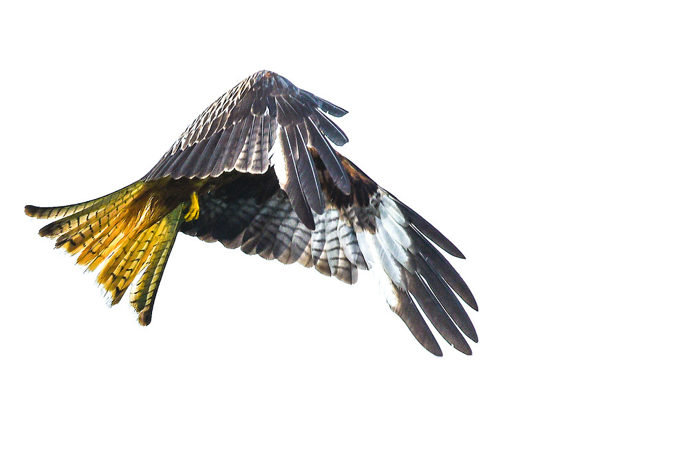 Red Kite flying on white background