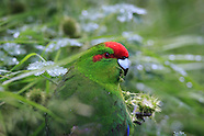 Cyanoramphus novaezelandiae (Red crowned parakeet)