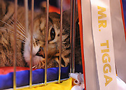 © Licensed to London News Pictures. 19/11/2011, Birmingham, UK.  Mr Tigga takes a rest after being judged in the non pedigree category. The Supreme Cat Show held today, 19 November in the National Exhibition Centre, Birmingham.  The event is a highlight in the cat show calendar and is regarded as the feline equivalent of Crufts. Photo credit : Stephen Simpson/LNP