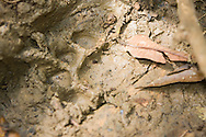 Puma concolor (Mountain Lion) - tracks: Mammalia: Carnivora: Felidae<br /> COSTA RICA<br /> Corcovado National Park<br /> Sirena Biological Station<br /> 3-15.Jan.2008<br /> J.C. Abbott #2353