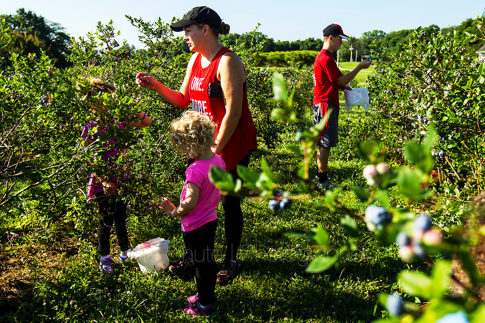 Customers pick blueberries at Annie's Orchard outside West Lafayette, Ind. on Thursday, June 28, 2018.