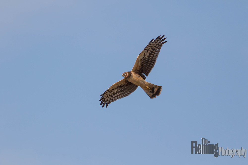 Northern Harrier soaring overhead in Northern California