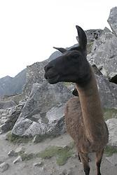 Llama (Lama glama) at Machu Picchu, Peru