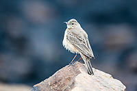 Plain-backed Pipit, Pilanesberg National Park, North West, South Africa