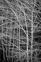 Black and white pattern of bare tree branches.