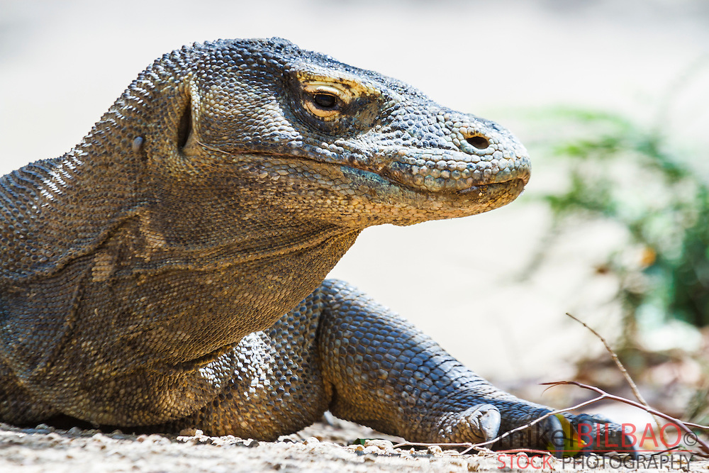 Komodo dragon (Varanus komodoensis). Rinca island.  Komodo National Park. Indonesia.