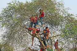 April 16, 2018 - Mathurapur, West Bengal, India - Children climbed on the tree to see Rural Horse race in a paddy field during annual Baisakhi fair. (Credit Image: © Subhashis Basu/Pacific Press via ZUMA Wire)