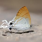 Hypolycaena amasa amasa (Hewitson, 1865) : the Fluffy Tit (ผีเสื้อหางพลิ้ว). Pang Sida National Park, Thailand.