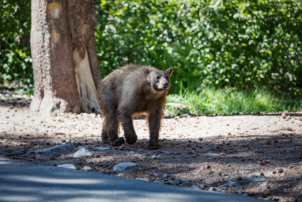 Summer in and around the town of Mammoth Lakes, CA in the Eastern Sierras where black bears are often sighted wondering lake shorelines.