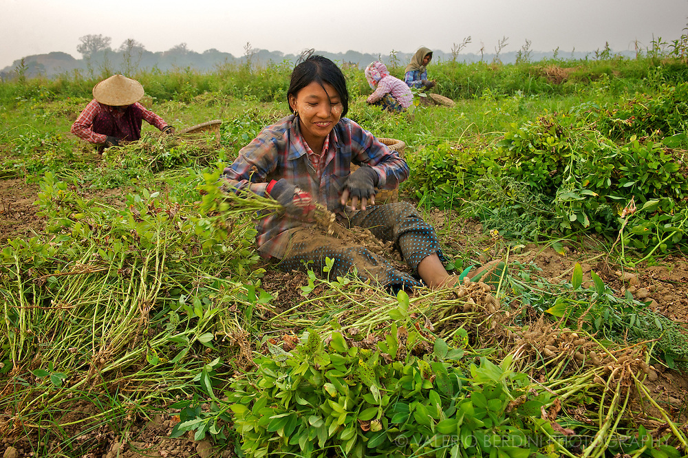 Farmers harvesting peanuts on a plantation in the proximity of Mandalay in Northern Burma