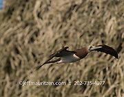 A brown booby in flight off the coast of Bona Island in the Panama Bay.