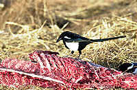 American Magpie (Pica Hudsonia), feeding on road kill near Calgary, Alberta, Canada