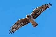 Northern Harrier, Circus cyaneus, female, Clay County, Nebraska